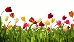 Colorful tulips with alpha channel Stock Footage