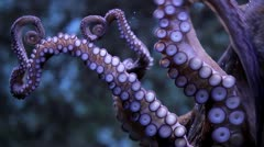 Octopus suction cups - stock footage