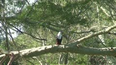 Fish Eagle Stock Footage