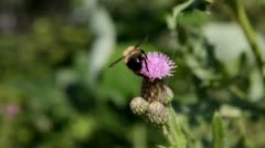 Bumble Bee on Flower - stock footage