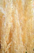 Dry Pampas Grasses - stock photo