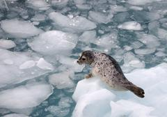 Harbour seal on an iceberg in alaska wilderness Stock Photos