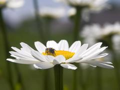 Little Bee on Daisy Stock Photos