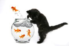 kitten catching goldfish jumping out of a fish bowl - stock photo
