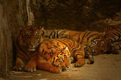 Watchful eyes of the tigers Stock Photos