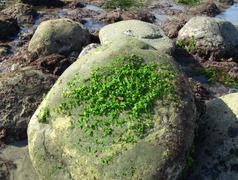 Sea Lettuce On Rock - stock photo