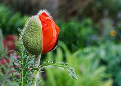 Oreintal Poppy Opening in the Garden - stock photo