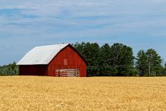 Red Barn in Golden Field - stock photo
