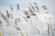 Common reed Stock Photos