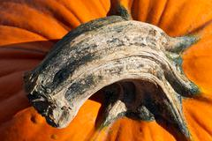 Pumpkin Stem - stock photo