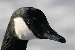 Canada goose head shot Stock Photos