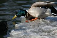 Stock Photo of drake mallard duck