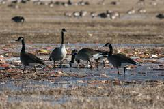 Canada goose migration Stock Photos