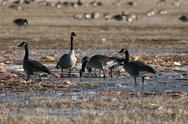 Stock Photo of canada goose migration