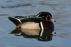 Drake wood duck Stock Photos
