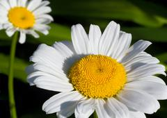 Shasta Daisy - stock photo