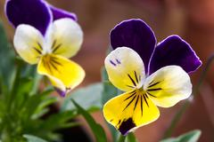 Viola Tricolor Flowers Stock Photos