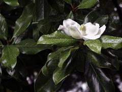 Magnolia blossom wet with rain drops - stock photo