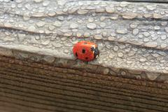 Dew covered ladybug on wood Stock Photos