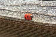 Stock Photo of dew covered ladybug on wood