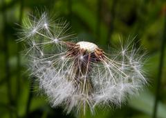 Dandelion Puffball - stock photo