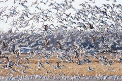Large flock of seagulls Stock Photos