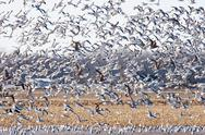 Stock Photo of large flock of seagulls