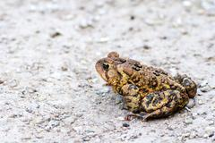Toad sitting on gravel Stock Photos
