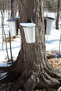 Stock Photo of Traditional Maple Syrup Sap Buckets On A Trunk Of A Sugar Maple Tree