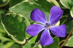 Purple Vinca Major Flower with Varigated Foliage - stock photo