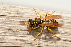 yellow jacket wasp chews wood into pulp - stock photo