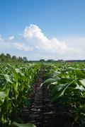 Rows of organic corn Stock Photos