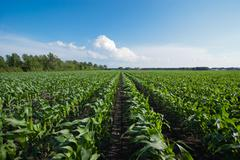 rows of organic corn - stock photo