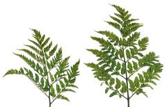 fern leafs - stock photo