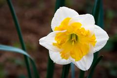 Daffodil White Yellow Bicolor - stock photo