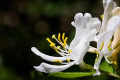 White Honeysuckle Blossom Stock Photos