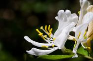 Stock Photo of White Honeysuckle Blossom
