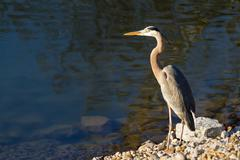 Heron at Waters Edge - stock photo