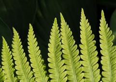 Lady Fern Frond Closeup - stock photo