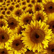Yellow vintage rustic looking grunge sunflowers Stock Photos