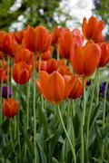 tulips of istanbul - stock photo