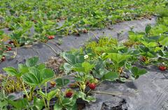 strawberry field patch - stock photo