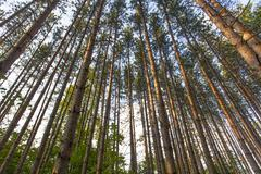 Trees Tower into the Sky - stock photo