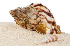 Conch sea shell Stock Photos