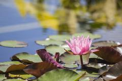 Pink Lilypad - stock photo