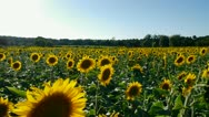 Sunflowers in a field in france Stock Footage