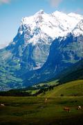Swiss livestock against snowcapped alps - stock photo