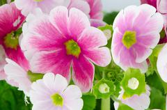 closeup of pink primrose flowers - stock photo