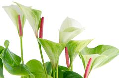 closeup of anthedesia anthurium - stock photo