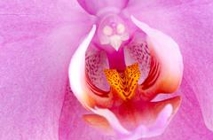 Stock Photo of closeup of beautiful pink orchid